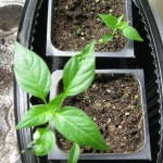 2/16/2011 Seedlings (3)