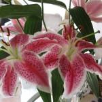 2/21/2011 Stargazer Bouquet for Valentine's Day 2