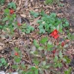 3/22/2011 Spring Garden Plans (9)
