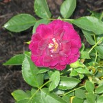 4/7/2011 Spring Blooms part 1 (22)