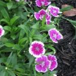 4/7/2011 Spring Blooms part 1 (16)