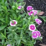 4/7/2011 Spring Blooms part 1 (15)