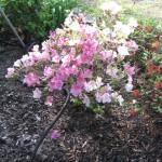 4/7/2011 Spring Blooms part 1 (11)