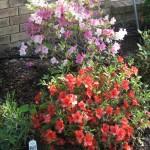 4/7/2011 Spring Blooms part 1 (10)