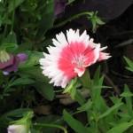 4/13/2011 Spring Blooms part 2 (5)