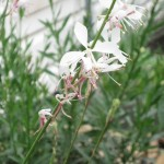 4/22/2011 Compact White Ballerina Gaura first wave of blooms