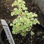 4/22/2011 Scented Geranium Prince Rupert