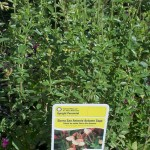 5/5/2011 Sierra San Antonio Salvia found at Frisco Lowes