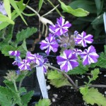 5/16/2011 Lanai Purple Star Verbena