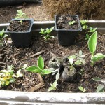 5/18/2011 Flowers & Cuttings (5)
