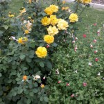 5/21/2011 Rose Gardens of Farmers Branch (49)