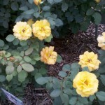 5/21/2011 Rose Gardens of Farmers Branch (48)