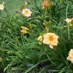 5/21/2011 Rose Gardens of Farmers Branch (39)