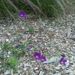 5/21/2011 Rose Gardens of Farmers Branch (18)