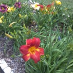 5/21/2011 Rose Gardens of Farmers Branch (9)
