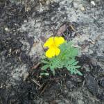 5/23/2011 First Durango Marigold Bloom