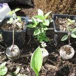 5/26/2011 Basil and Sage Cuttings 1