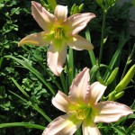 5/28/2011 First Dallas Stars daylily blooms