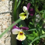 5/28/2011 Pansies growing between the stonework