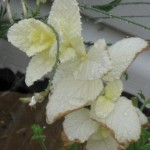 6/11/2011 An all-white branch of a pineapple mint