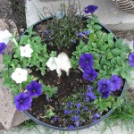 6/11/2011 Easy Wave Blue and White Petunias