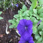 6/11/2011 Easy Wave Blue Petunias