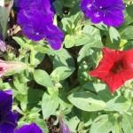 6/13/2011 Red Petunia 2