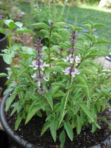7/5/2011 Reblooming Thai basil
