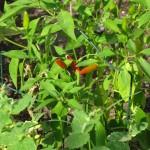 7/7/2011 Ripe Thai chili peppers