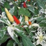 7/10/2011 Shu Ornamental Pepper (1)