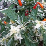 7/10/2011 Shu Ornamental Pepper (2)