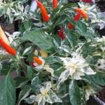7/10/2011 Shu Ornamental Pepper (3)