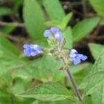 7/13/2011 First Sinaloa sage blooms (2)
