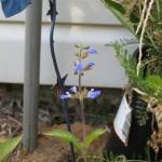 7/13/2011 First Sinaloa sage blooms (4)