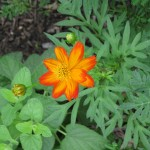 7/26/11 Cosmos and Marigolds (1)