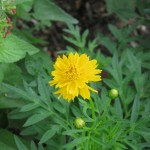 7/26/11 Cosmos and Marigolds (2)