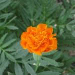 7/26/11 Cosmos and Marigolds (3)