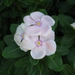 9/11/2011 Summer Blooms (2)