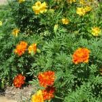 9/11/2011 Summer Blooms (5)