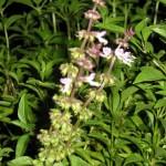 9/20/2011 Post Heat Wave Blooms (6)