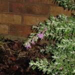 9/20/2011 Post Heat Wave Blooms (8)