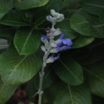9/29/2011 Seabreeze salvia (1)
