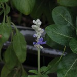 9/29/2011 Seabreeze salvia (2)