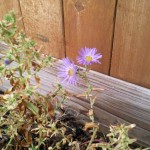 10/5/2011 Unlikely Blooms (2)