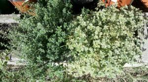 10/21/2011 October Herbs (2)