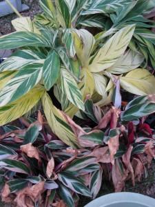 10/22/2011 Alpinia zerumbet variegata