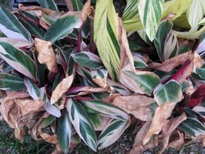10/22/2011 Stromanthe sanguinea tricolor