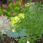10/23/2011 Gingers and Sedums (3)