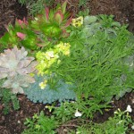 10/23/2011 Gingers and Sedums (4)