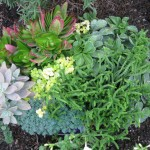 10/23/2011 Gingers and Sedums (5)